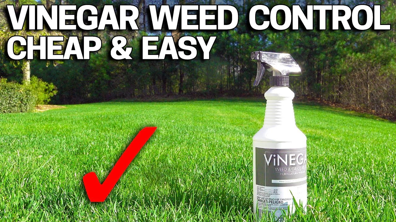 Vinegar Weed Killer Works In 24 Hours Youtube