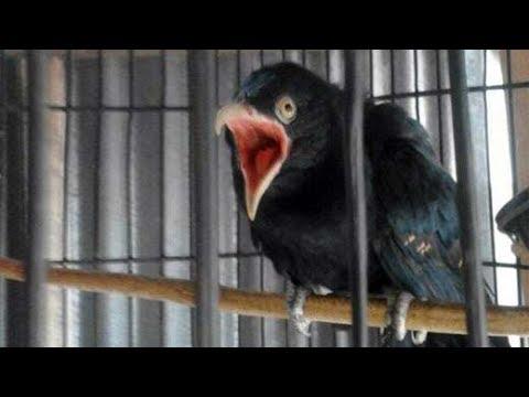 Si Misteri Burung Tuwu Gacor Suara Bergetar