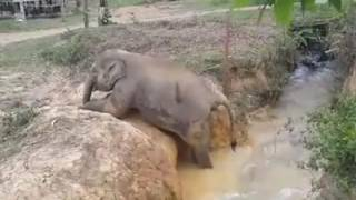 Stuck baby elephant gets help from aunt