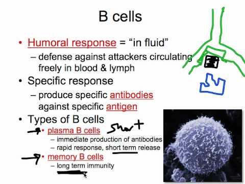Immune System B Cells - YouTube