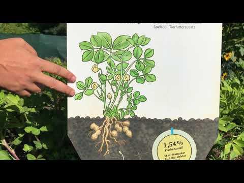 Erdnusspflanze auf dem Weltacker