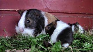 Ooh Look! Baby Guinea Pigs!