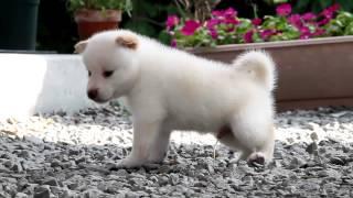 柴犬専門ブリーダー・犬舎の子犬販売 柴犬.net ID:1618 http://www.shib...