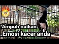 Kacer Petarung Cari Lawan Fighter Naikan Emosi Kacer  Mp3 - Mp4 Download