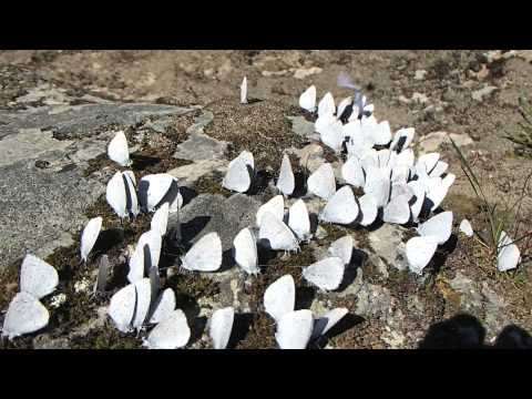 Hear the Butterflies!-Kalmiopsis Wilderness-Spring