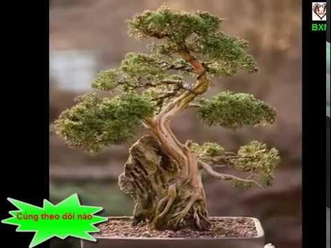 Ngắm Những Cây Bonsai Có Dáng Siêu Độc Giá Nghìn Đô | Người yêu cây cảnh