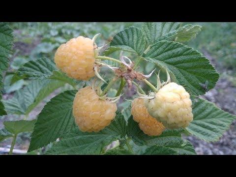Малина Желтый гигант - первый урожай