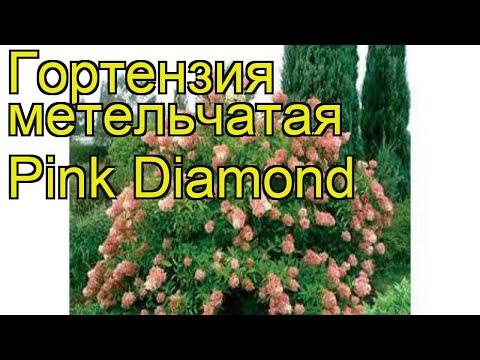Гортензия метельчатая Pink Diamond. Краткий обзор, описание характеристик