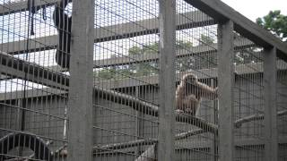Gibbon primates at Brantford Zoo