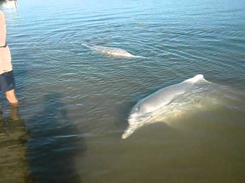 Indo-Pacific Humpback dolphins pt 1 CIMG0047.AVI