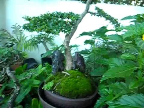 Bucida Spinosa. Bonsai