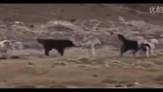 Собаки против волка.