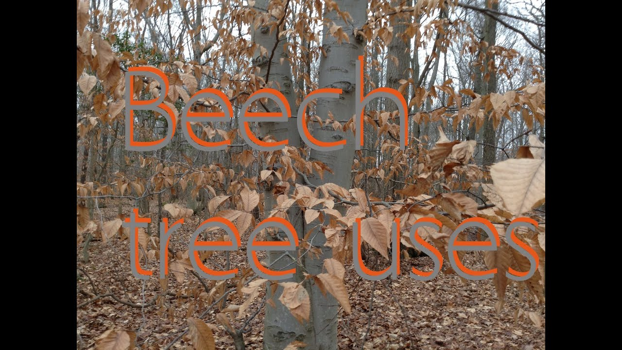 Uses For Beech Wood ~ Beech tree uses youtube