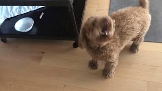 Miniature poodle barking