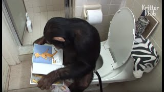 Humanized Chimpanzee Starts His Day Reading Books On The Toilet, And.. | Kritter Klub