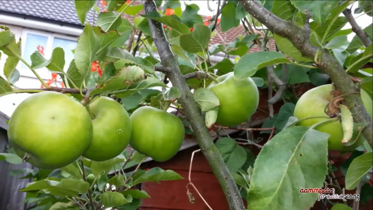 🍏 Flower To Fruit ᴴᴰ || Apple Tree Development 2014   YouTube