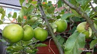 🍏 Flower to Fruit ᴴᴰ || Apple Tree development 2014