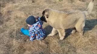 Кавказская овчарка и дети :)