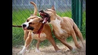 Что нельзя делать при содержание Бойцовой собаки Стаффордширский терьер