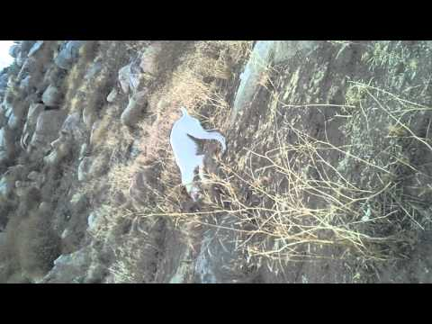Jack Russell catches and kills wild rabbit (warning graphic)