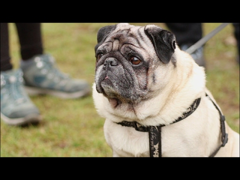 What's really going on behind your pug's nose?