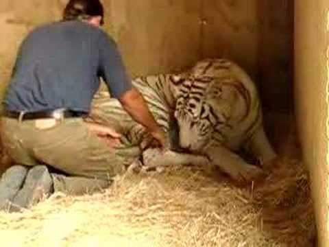 Thumbnail: Royal White Tiger birth and Lion man in New Zealand 1