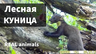 Лесная КУНИЦА (martens).  Фотоловушка / Real animals