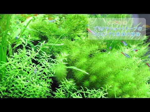 #8.ブリクサショートリーフのトリミングと底床の掃除(Aquascaping - Trimming of Blyxa Japonica)