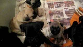 Pug Puppies in pen crying and wimpering.