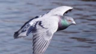 播州のレース鳩達のこれからの活躍にエールをこめた唄 播州一ソング集 ...
