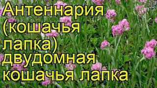 Антеннария двудомная Кошачья лапка. Краткий обзор, описание antennaria dioica koshachia lapka