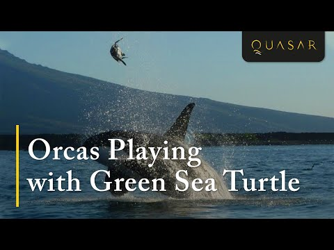 Orcas Playing & Juggling with Green Sea Turtle in Galapagos Islands