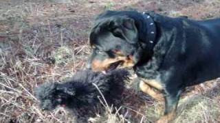 ★another Raja And Buster Movie!!! (rottweiler And Toy Poodle)★