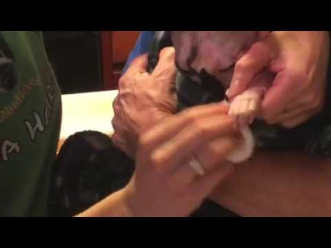 Hairless Cat ToeNail Grooming Video
