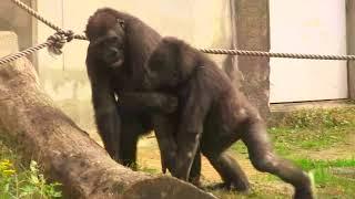 東山ゴリラ アニー&キヨマサ48 Annie&Kiyomasa child gorilla play thumbnail