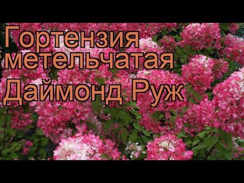 Гортензия метельчатая Даймонд Руж (diamant rouge) 🌿 обзор: как сажать, саженцы гортензии Даймонд Руж