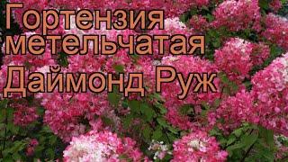 Гортензия метельчатая Даймонд Руж (diamant rouge) ???? обзор: как сажать, саженцы гортензии Даймонд Руж