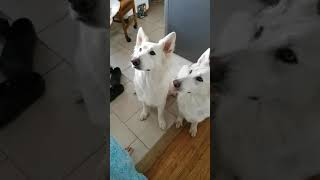 My best friend feeding my Berger Blanc Suisse Shepherds scrambled e...