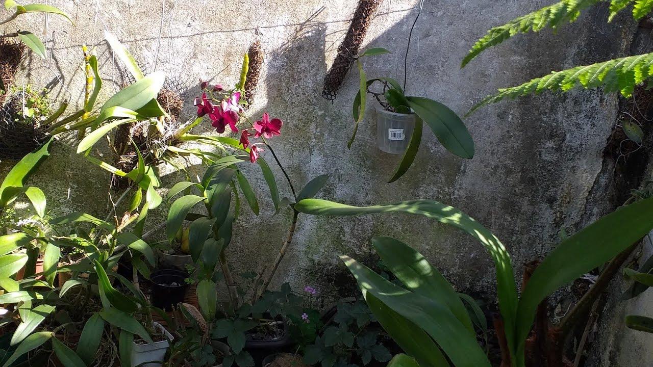 Desenvolvimento da orquídea phalaenopsis plantada no vaso sem substrato