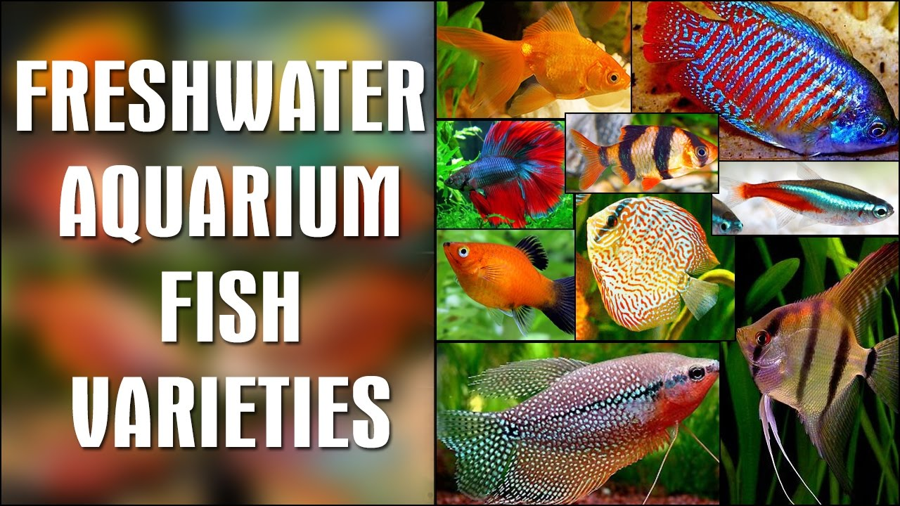 Aquarium Fish Tropical