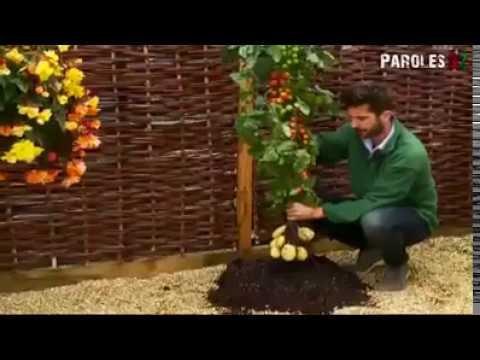 Roubování rajčat na brambory