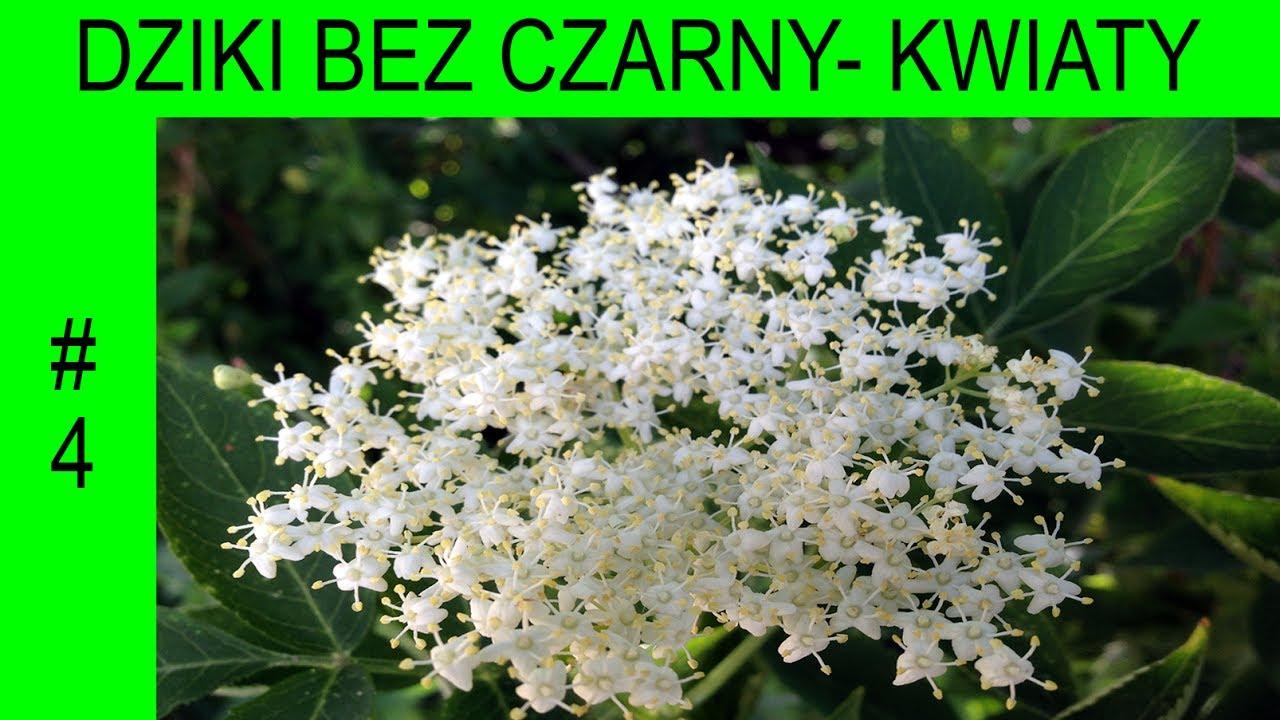 Dziki Bez Czarny Kwiaty Cudowne Lekarstwo Niedoceniane Wspolczesnie Sambucus Nigra 4 Youtube
