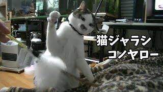 久しぶりの猫じゃらしにハイテンションな猫