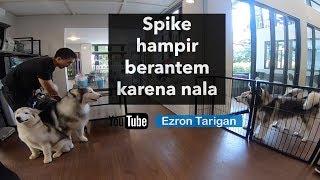SPIKE HAMPIR BERANTEM KARENA NALA - Ezron Tarigan & Humble Spiker