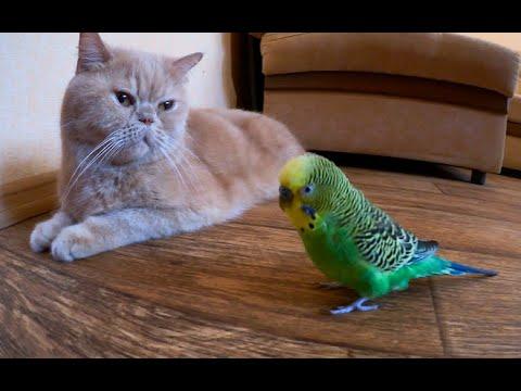 Говорящий попугай общается с котом.