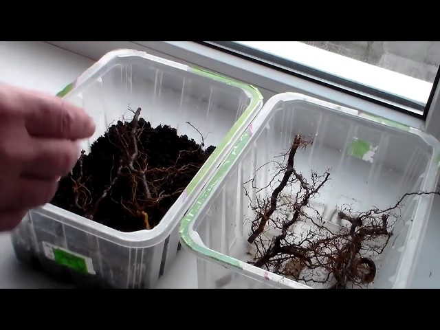 Саженцы малины из корневых черенков