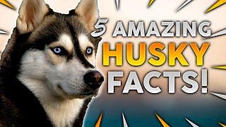 SIBERIAN HUSKY! 5 Incredible Facts About The Siberian Husky!