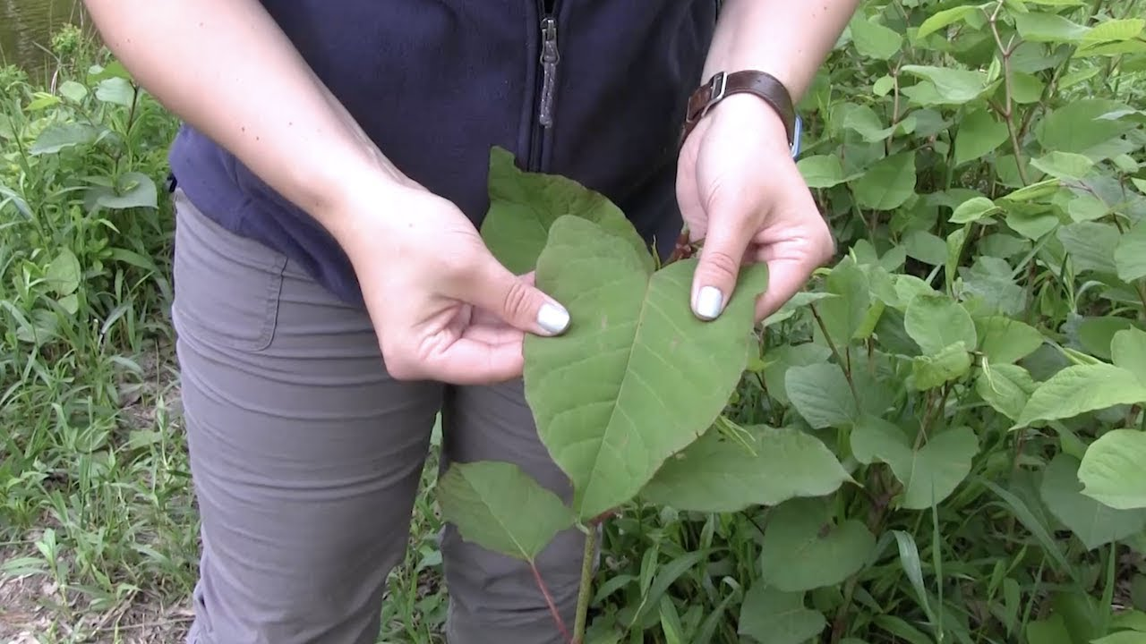 How To Identify Japanese Knotweed Youtube