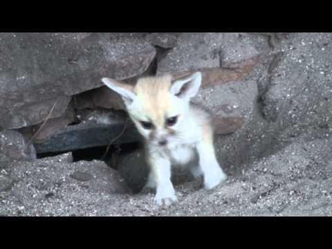 Fennec Fox Kits at the Palm Beach Zoo