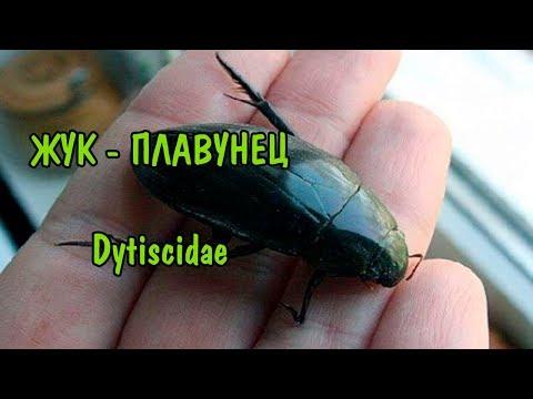 ПЛАВУНЕЦ. Dytiscidae